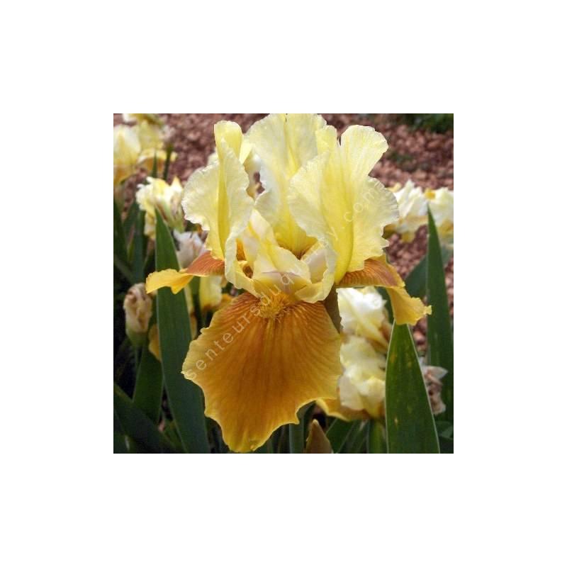Iris 'Honey Glazed'
