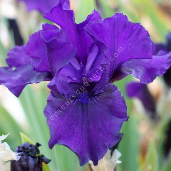 Iris 'Midsummer Night's Dream'