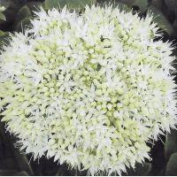 Sedum spectabile 'Stardust' - Grand Orpin blanc