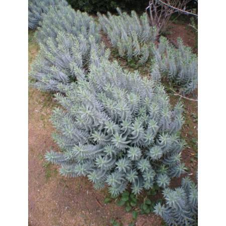 Euphorbia rigida, Euphorbe rigide