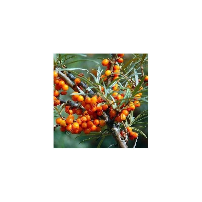 Hippophae rhamnoides - Argousier