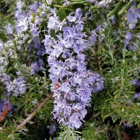 Rosmarinus officinalis 'Corsican Blue' - Romarin prostré
