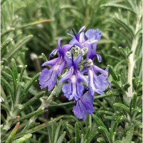 Rosmarinus officinalis 'Punta di Canelle' - Romarin