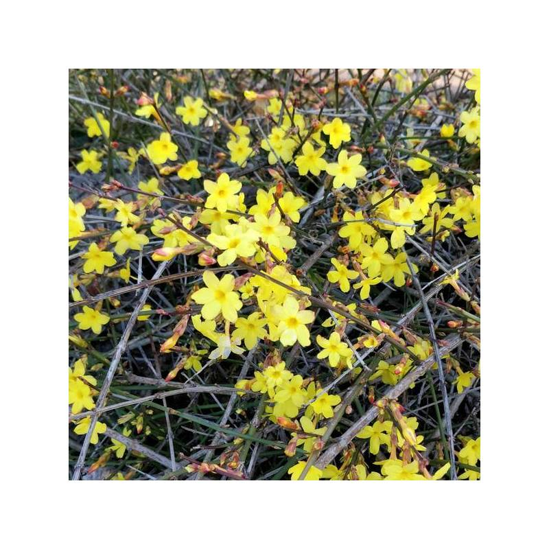 Jasminum nudiflorum - Jasmin d'hiver