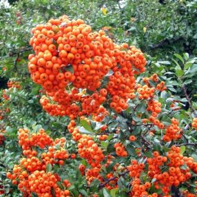 Pyracantha 'Orange Glow' - Buisson Ardent orange