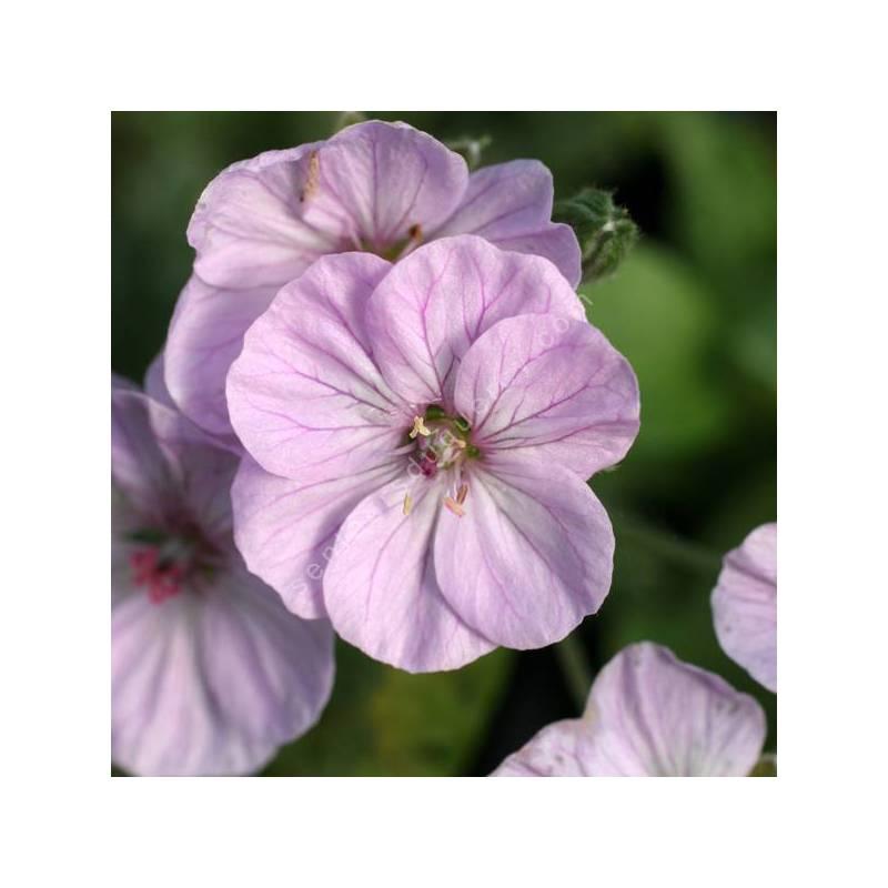 Erodium 'Sark' - Bec de grue