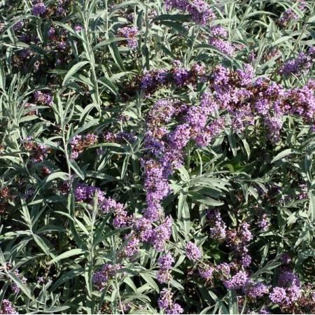 Buddleja alternifolia 'Argentea' - Arbre aux papillons à feuilles alternes argentées