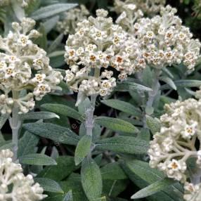 Buddleja loricata - Arbre àpapillon