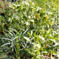 Helleborus foetidus - Hellébore fétide