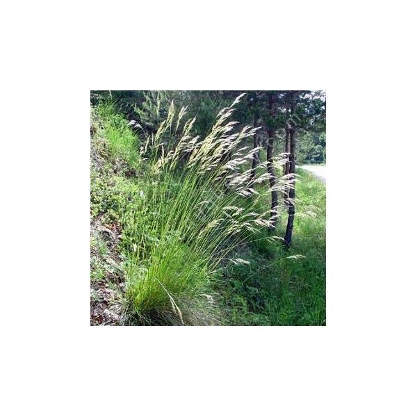 Helictotrichon cantabricum - Avoine des Cantabriques