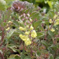 Scutellaria salviifolia - Scutellaire à feuille de sauge