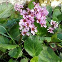 Bergenia cordifolia - Bergénie - plante des savetiers