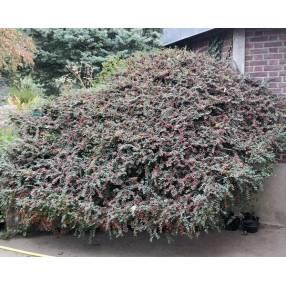 Cotoneaster horizontalis - Cotoneaster rampant