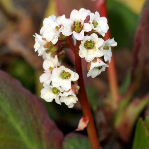 Bergenia 'Bressingham White' - Bergénie à fleurs blanches