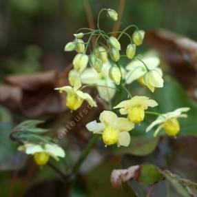Epimedium x versicolor 'Sulphureum' - Fleur des Elfes