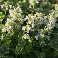 Nepeta x faassenii 'Alba' - Herbe àchat à fleurs blanches