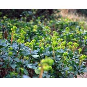 Euphorbia robbiae - Euphorbe des bois