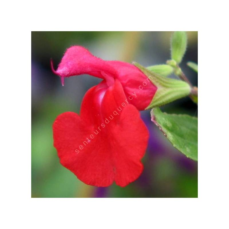 Salvia microphylla var. neurepia - Sauge arbustive rouge