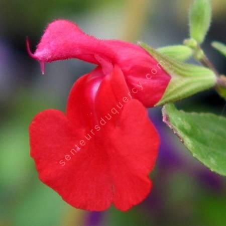 Salvia microphylla - Sauge de Graham