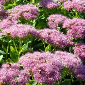 Sedum spectabile 'Brillant' - Grand Orpin rose