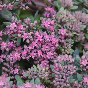 Sedum 'Red Canyon'