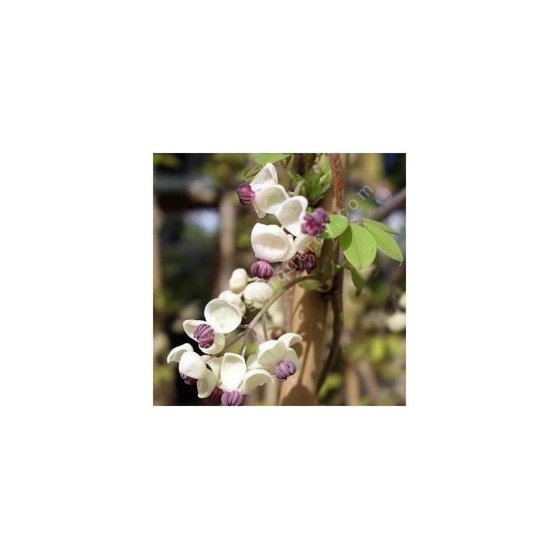 Akebia quinata 'Alba' - Akébie à fleur blanche