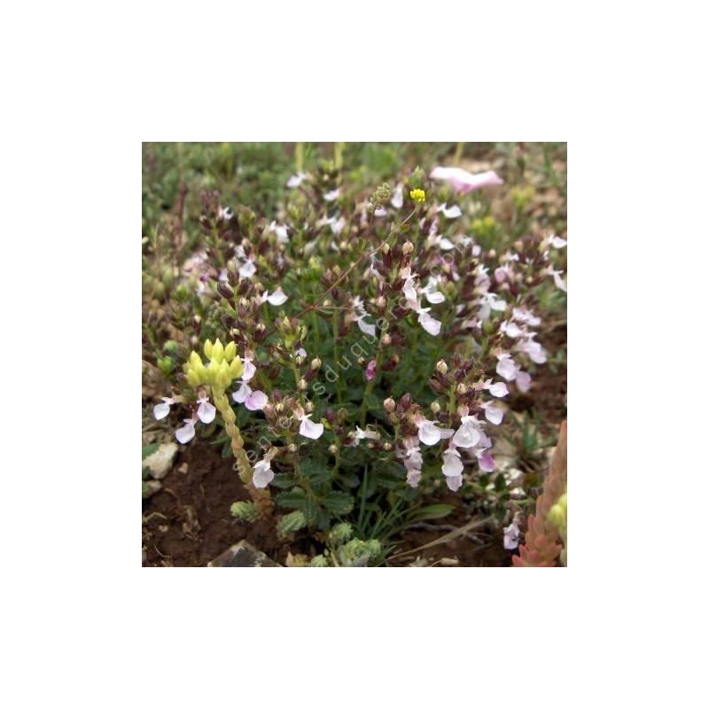 Teucrium chamaedrys 'Nana' - Germandrée petit-chêne naine