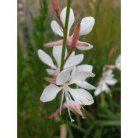 Gaura lindheimeri 'Sparkle White' - Gaura blanc compact