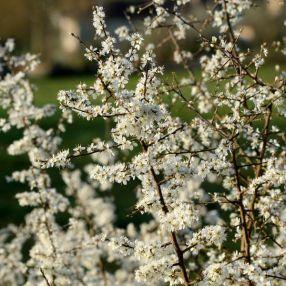 Prunus spinosa -  Prunellier, Épine-noire