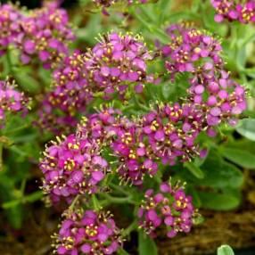 Alyssum spinosum 'Rubrum' - Alysson épineux rose