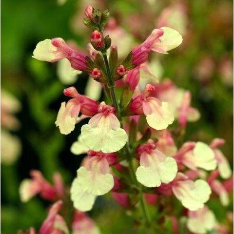 Salvia 'Sierra San Antonio' - Sauge arbustive jaune