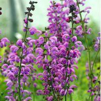 Salvia pratensis 'Sweet Esmeralda' - Sauge des prés rose