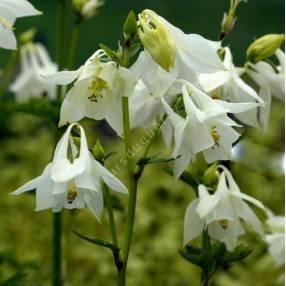 Aquilegia vulgaris 'Alba' - Ancolie commune blanche