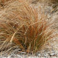 Carex testacea - Laîche orange