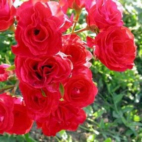 Rosa 'Red Bells' - Rosier paysage rouge double