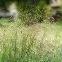Stipellula parviflora - Stipe à petites fleurs