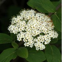 Viburnum lantana - Viorne poilu