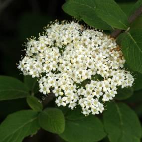 Viburnum lanata - Viorne poilu