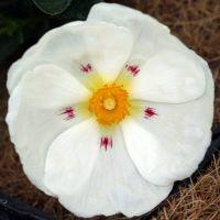 Cistus x dansereaui - Ciste pourpre à fleur blanche