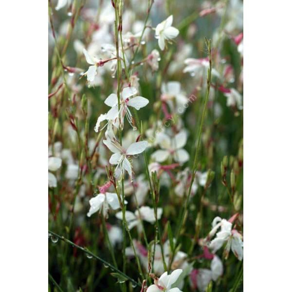 Gaura lindheimeri 'Summer Breeze' - Gaura blanc