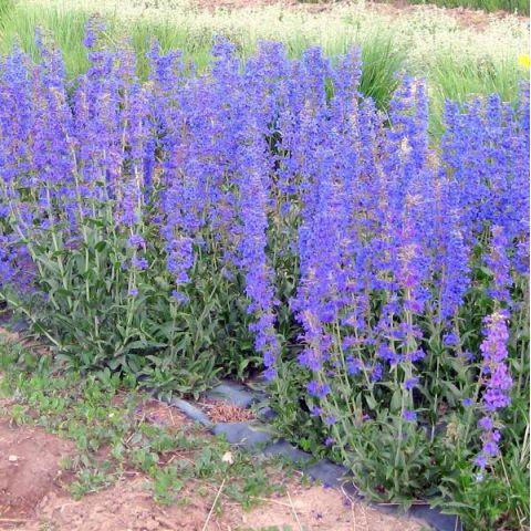 Penstemon mensarum - Galane à fleur bleue