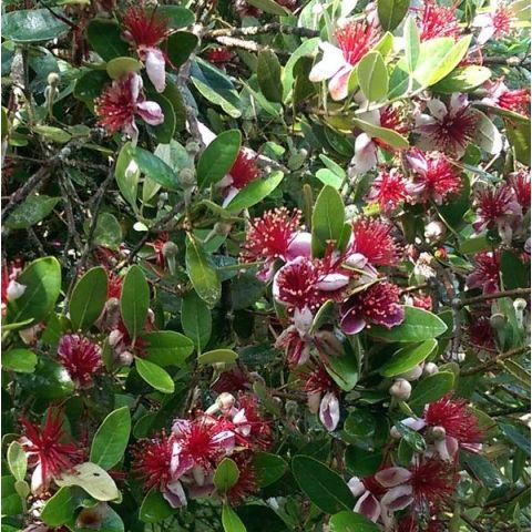 Acca sellowiana 'Coolidge' - Feijoa, Goyave d'Argentine
