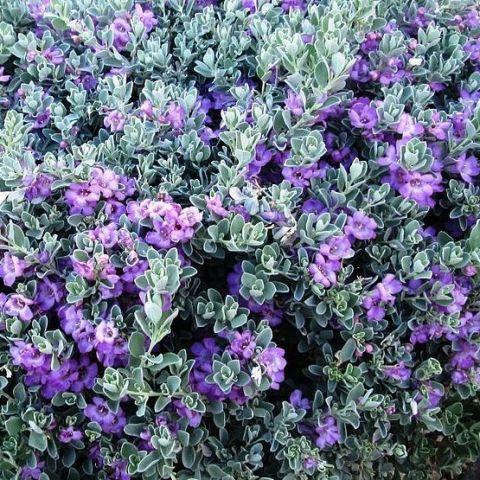 Leucophyllum frutescens - Sauge du désert