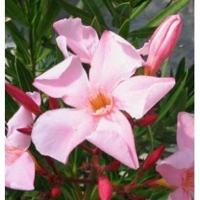 Laurier-rose 'Atlas' - Nerium