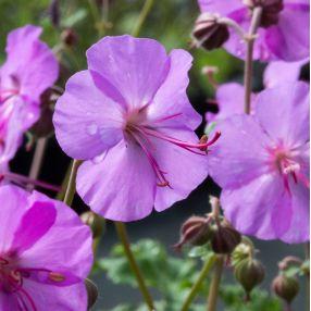 Geranium x cantabrigiense 'Karmina' - Géranium vivace