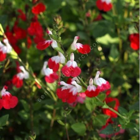 Salvia 'Petit Bisou' - Sauge arbustive blanche et rouge compacte