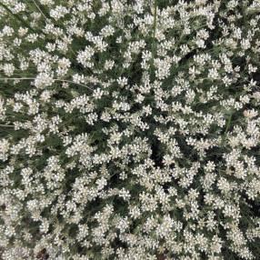 Dorycnium pentaphyllum - Badasse à cinq folioles