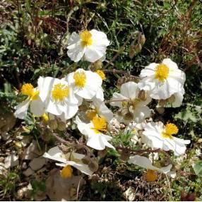 Helianthemum apenninum - Hélianthème des Apennins