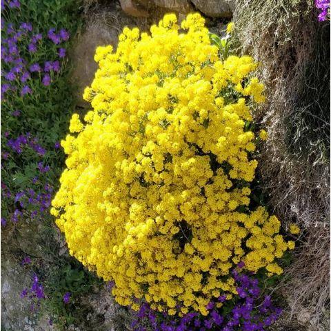 Aurinia saxatile - syn : Alyssum saxatile - Corbeille d'or