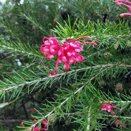 Grevillea juniperina - Grévillier à feuilles de genièvre